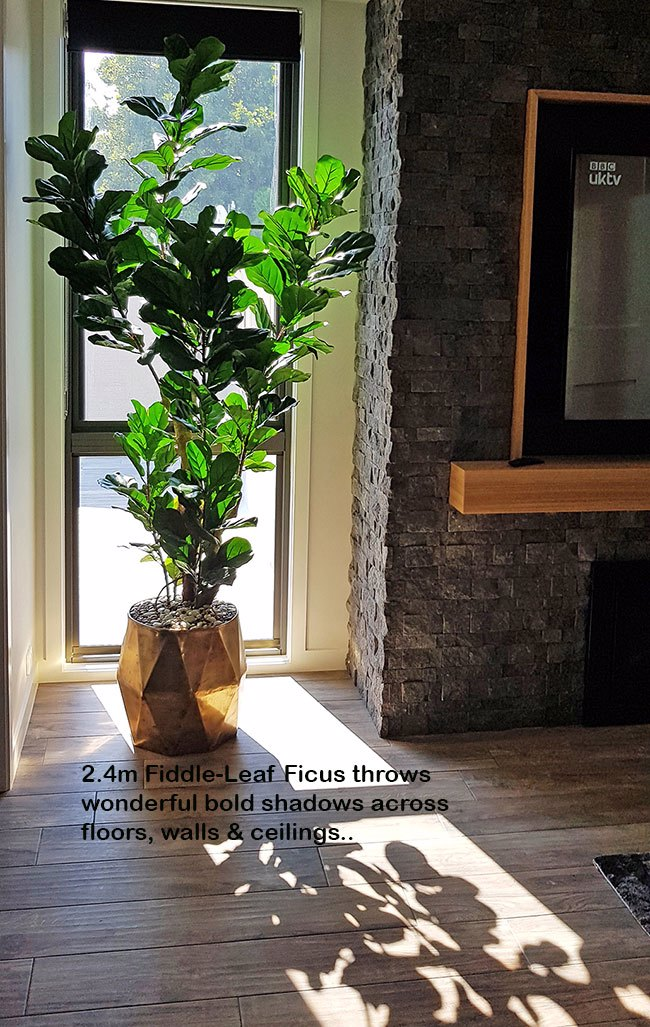 large Fiddle-Leaf Ficus- bold shadow effects...