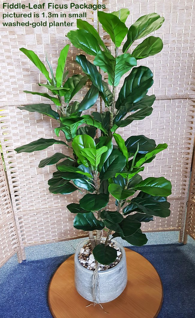Packages- Fiddle-Leaf Ficus 1.3m in planter