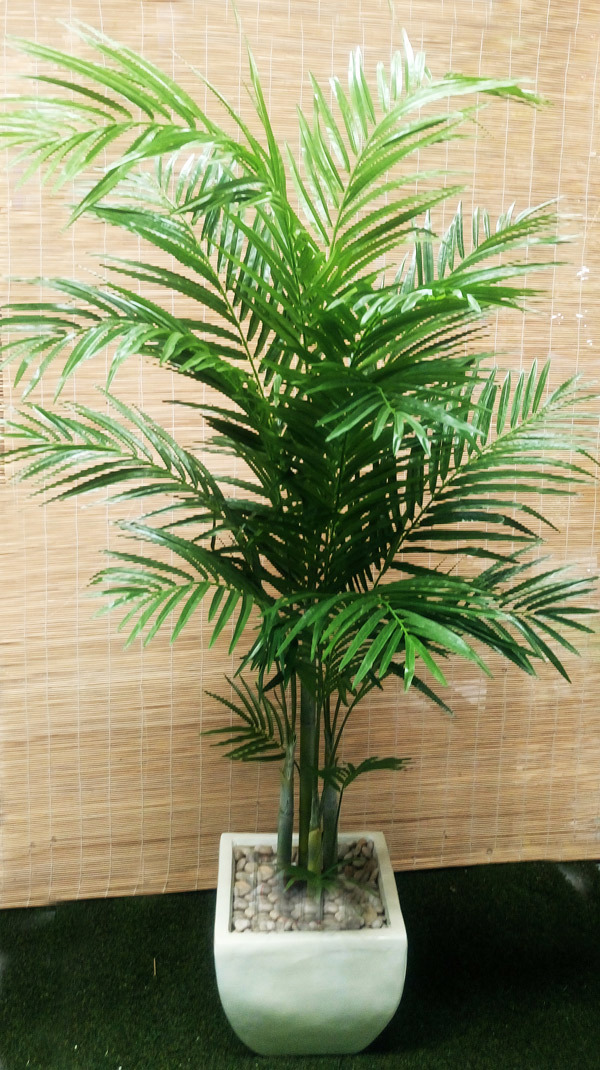 Packages- Golden Cane Palms 1.9M