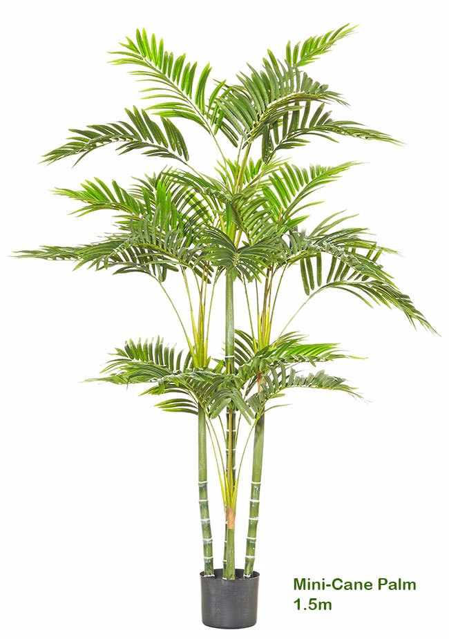 Mini-Cane Palm 1.5m