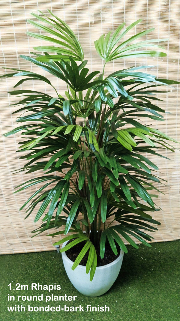 Packages- 1.2M Rhapis Palms in planter