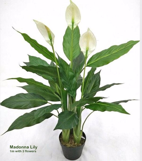 Madonna Lily- 1m x3 flowers