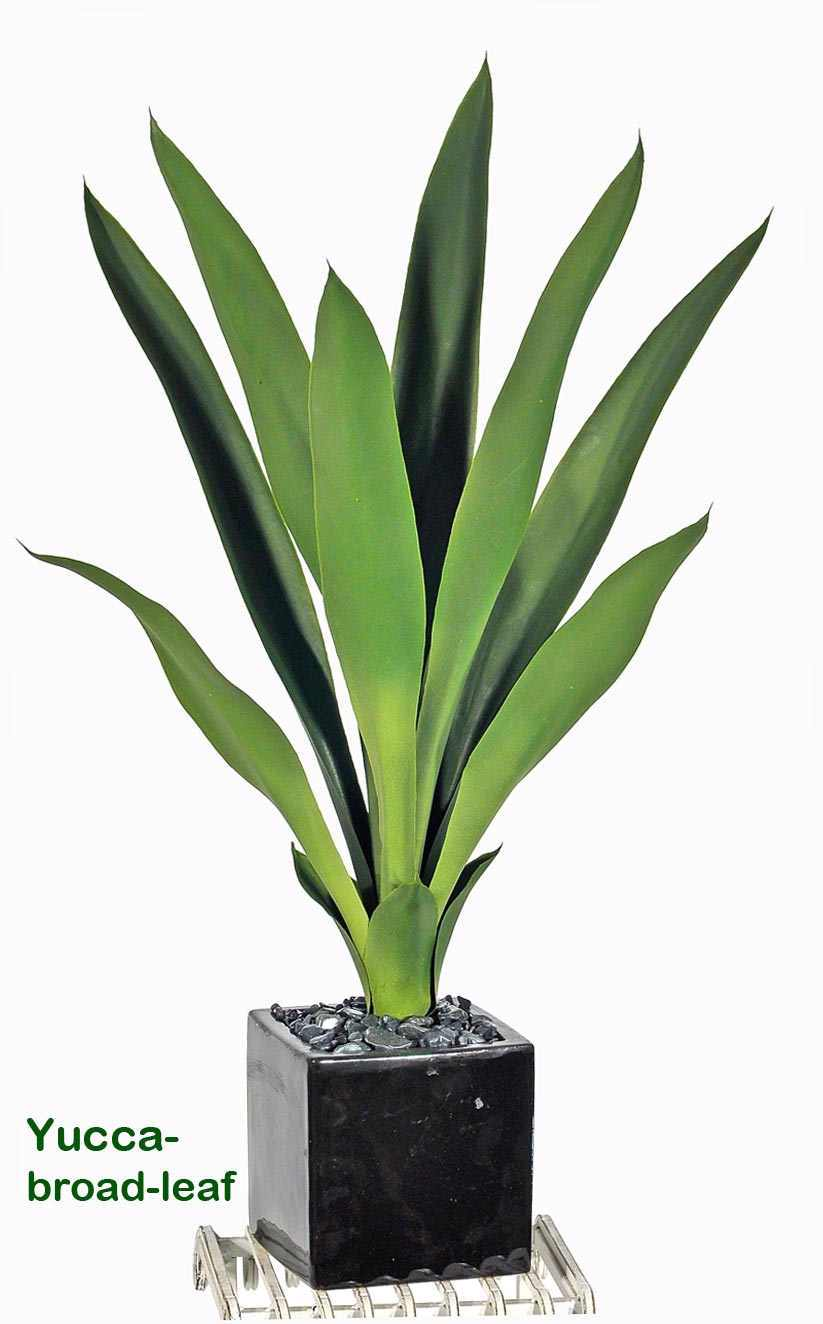 Yucca- upright with broad-leaf