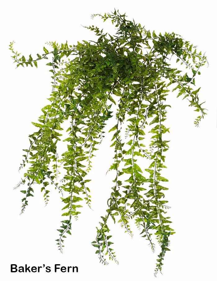 Bakers Fern