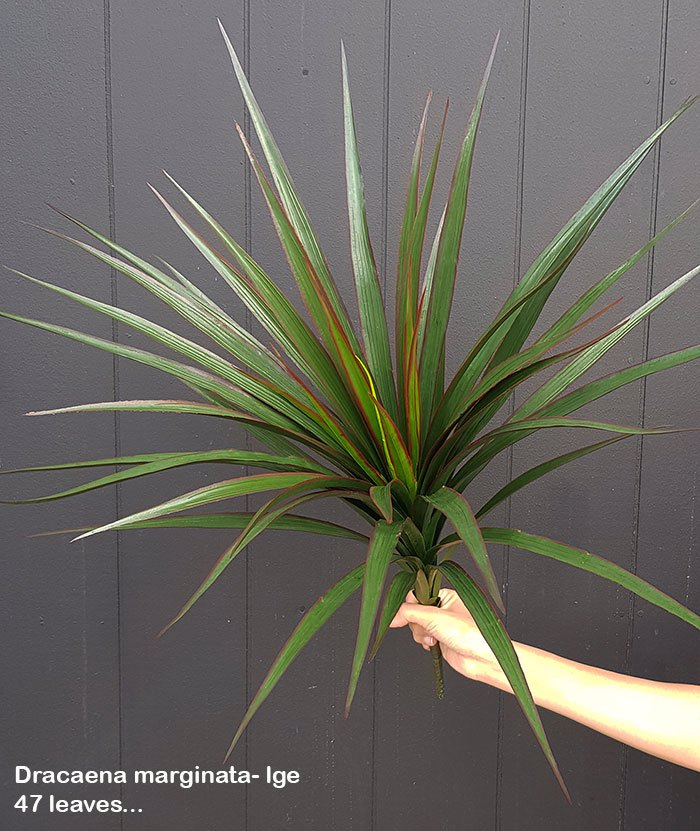 Articial Plants - Dracaena- marginata Plant UV-treated 47 leaves
