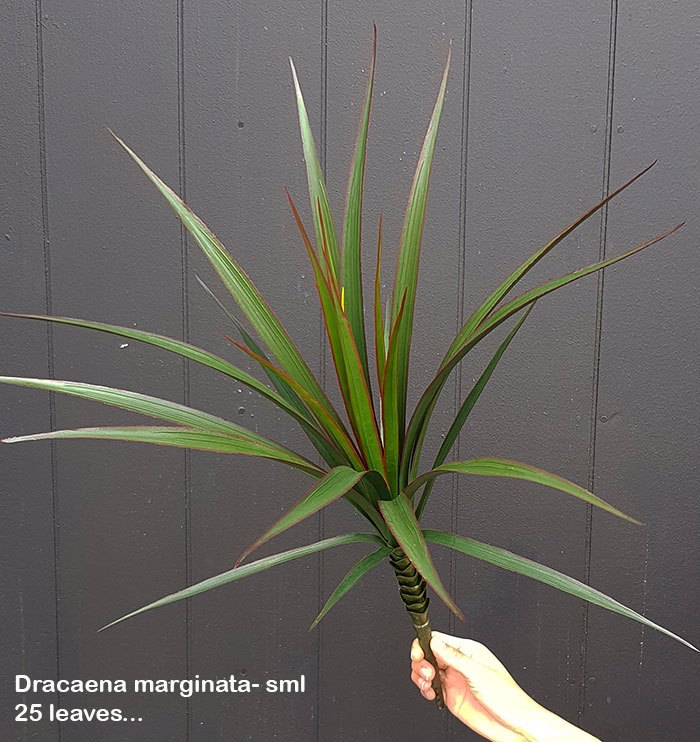 Articial Plants - Dracaena- marginata Plant UV-treated 25 leaves