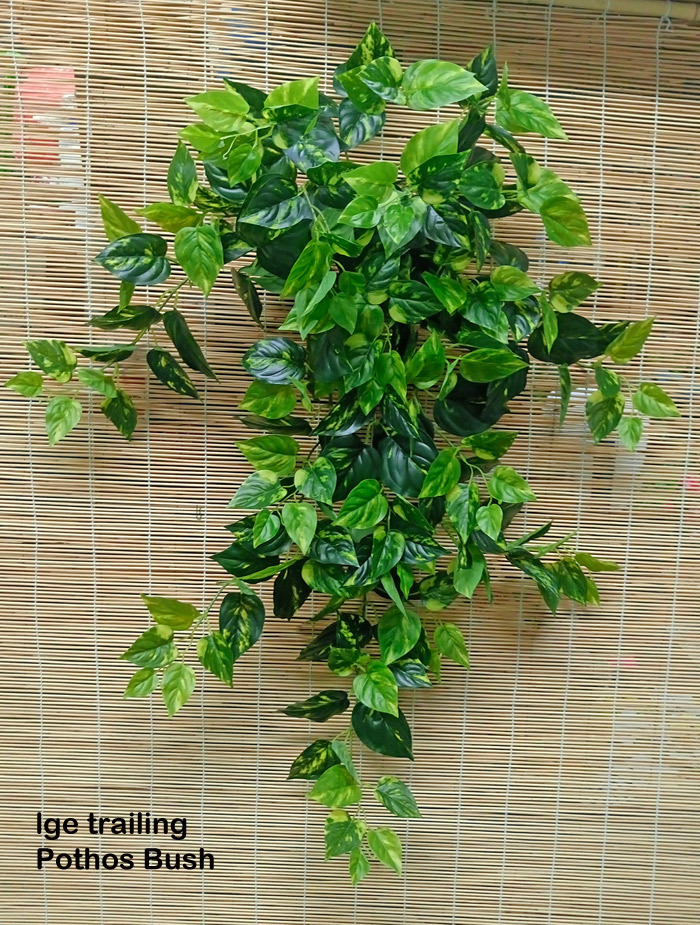 Trailing Bush- lge Pothos