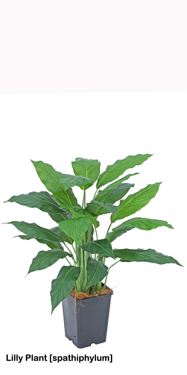 Articial Plants - Lilly Plant [spathiphylum] 90cm