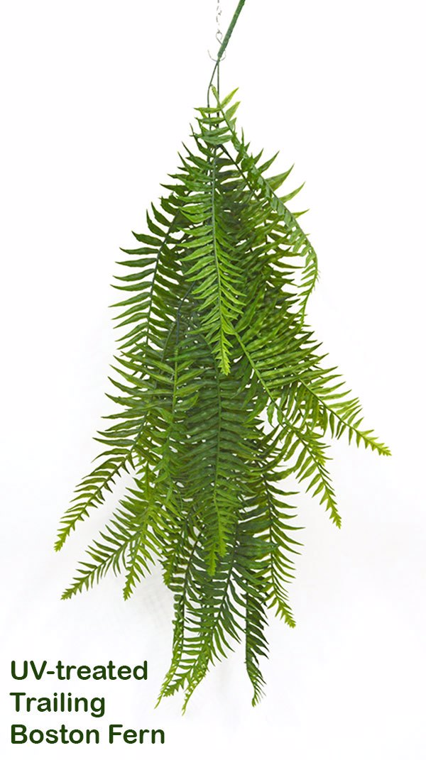 Boston Fern- trailing UV-treated