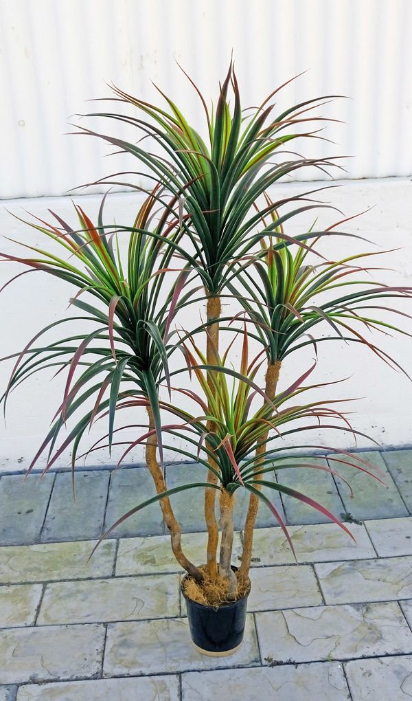 Articial Plants - Dracaena- 'shiraz' 1.2m with 4 heads
