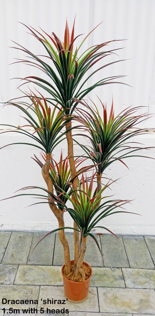 Dracaena- 'shiraz' 1.5m with 5 heads