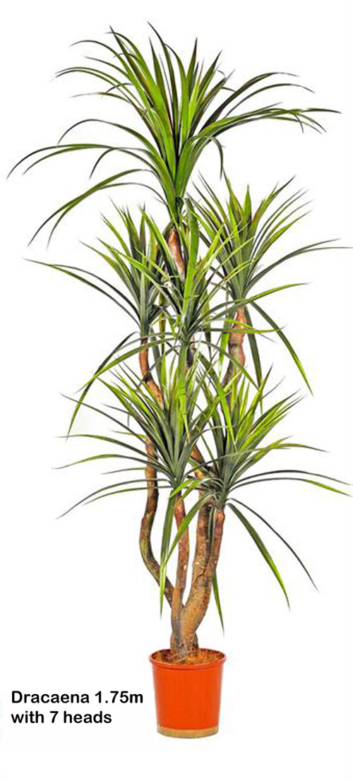Articial Plants - Dracaena- 'fresh-green' 1.75m with 7 heads