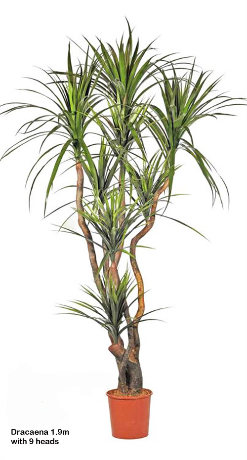 Articial Plants - Dracaena- 'fresh-green' 2.1m with 13 heads
