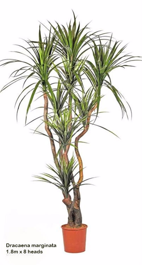 Articial Plants - Dracaena- marginata 1.8m with 8 heads