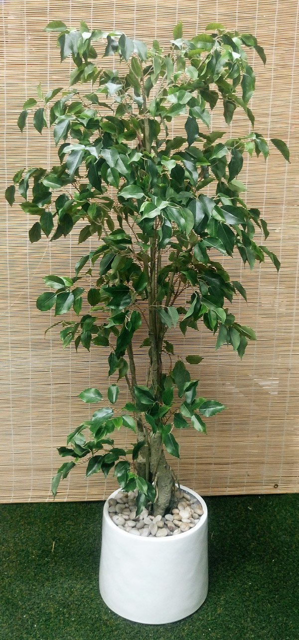Articial Plants - Packages- Ficus [green] 1.6M