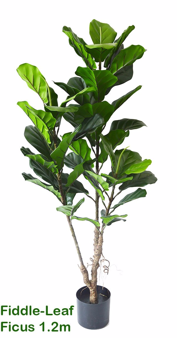 Fiddle-Leaf Ficus 1.2m