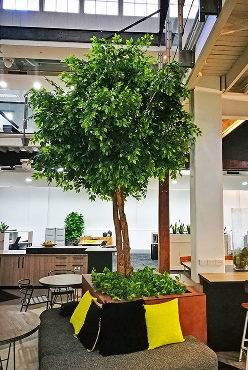 Giant Ficus Tree in Office Planter